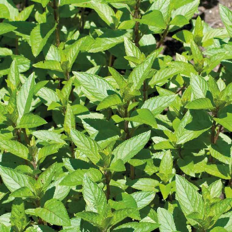 peppermint aromatic 1 plant plante aromatique menthe poivrée
