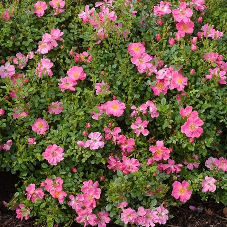Rosier eglantia intropi botanic for Produit entretien jardin