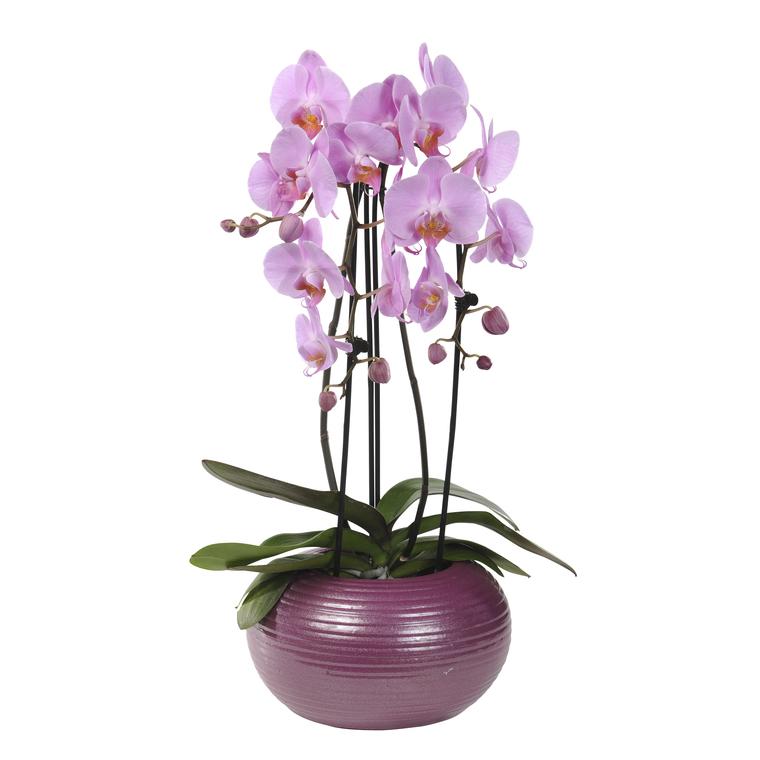 Entretien orchidee en pot 28 images orchid 233 e for Entretenir une orchidee en pot