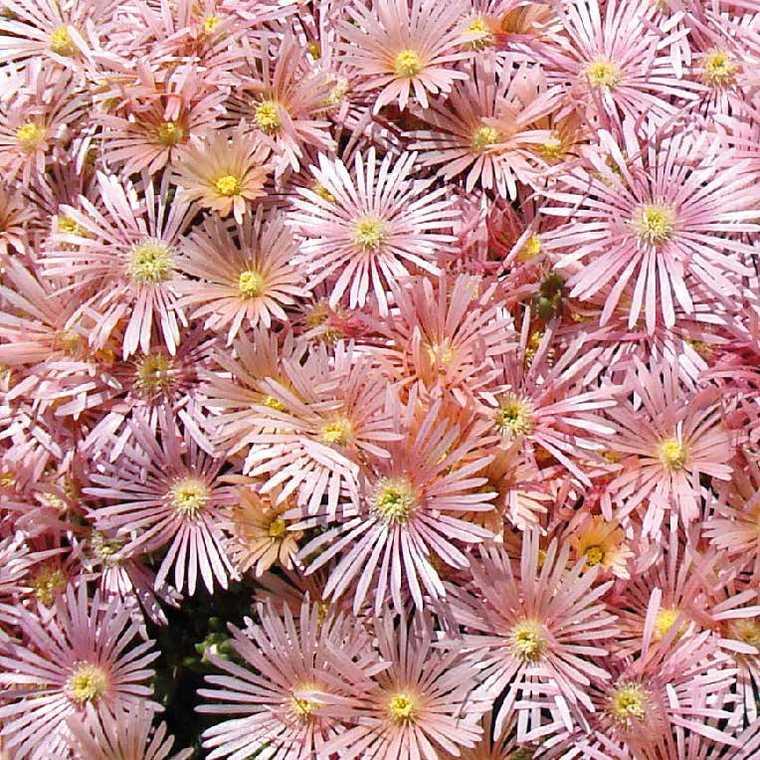 Delosperma kaleodis orange le pot de 9x9 cm plantes for Soldes plantes vivaces