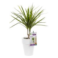 Dracaena marginata vert le pot de 15 cm plantes d 39 int rieur facile entretenir maison botanic - Entretien dracaena marginata ...