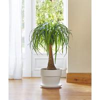 Beaucarnea le pot de 26 cm plantes d 39 int rieur facile for Plante verte interieur facile