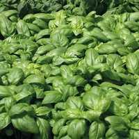 Basilic Grand Vert. Le pot de 1 litre