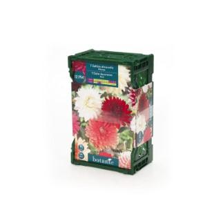 7 bulbes dahlia décoratif No.I - clayette
