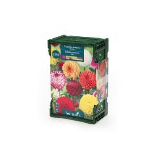 7 bulbes dahlia pompon No.I - clayette