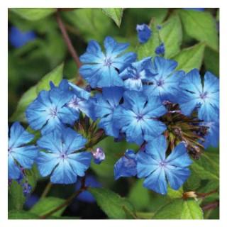Plumbago de Willmott bleu - Pot de 3L 101249