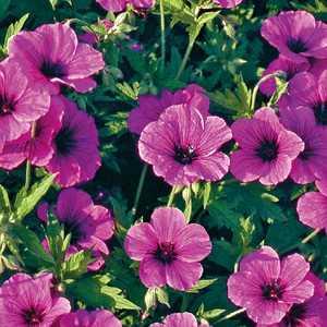 geranium cinereum. le pot de 9x9 cm