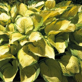 HOSTA golden. Le pot de 9 x 9 cm
