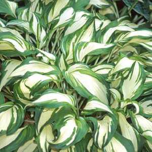 HOSTA undulata. Le pot de 9 x 9 cm