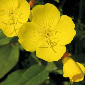 Oenothera Missouriensis. Le pot de 9x9 cm