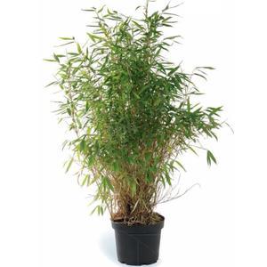 Bambou moyen fargesia botanic for Bambou en pot pour terrasse