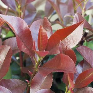 Photinia (PHOTINIA FRASERI RED SELECT) 106769