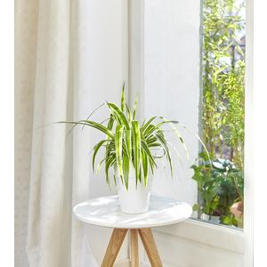 Chlorophytum en pot de 15 cm.