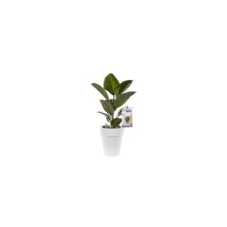 Ficus elastica. Le pot de 18 cm