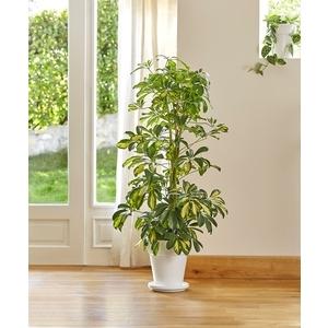 Schefflera gold capella. Le pot de 21 cm