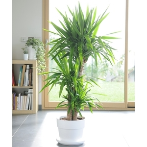 yucca le pot de 26 cm plantes d 39 int rieur facile entretenir maison botanic. Black Bedroom Furniture Sets. Home Design Ideas