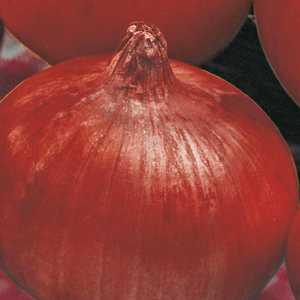 OIGNON ROUGE RED BARON.La barquette de 12 plants