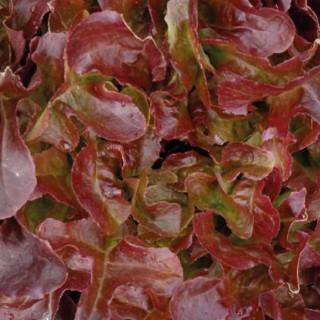 Laitue feuille de chêne rouge
