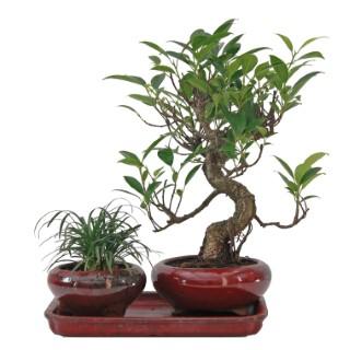 Bonzaï varié duo ophiopogon