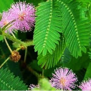 Mimosa Pudica. Le pot de 1 litre