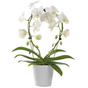 Phalaenopsis Arceau avec cache pot