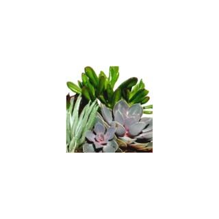 Plantes grasses variées. La coupe de 18 cm