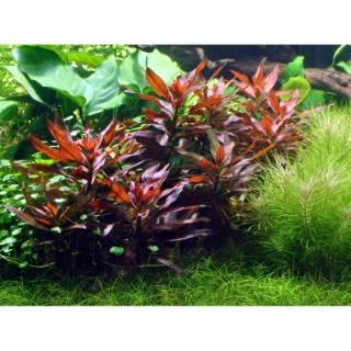 Plante aquatique Ludwigia Glandulosa en pot 126588