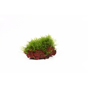 Taxiphyllum barbieri Vesicularia sur roche