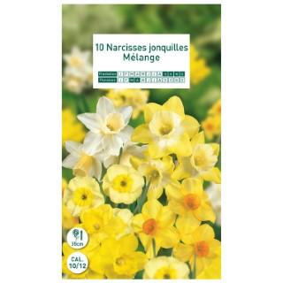 10 bulbes de narcisse Jonquilles mélange