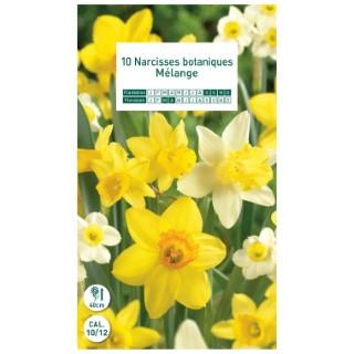 10 bulbes de narcisse botanique