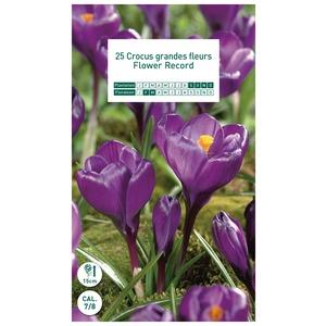 25 bulbes de crocus Flower Record
