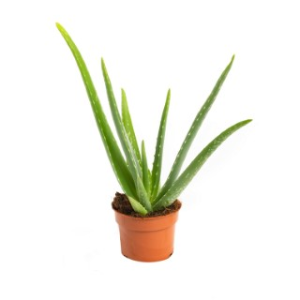 Aloe Vera. Le pot de 1 litre