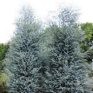 Eucalyptus Azura Carige bleu en pot de 4 L 129164