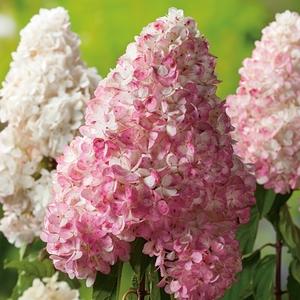 Hortensia Paniculata Vanille Fraise - pot 10 L