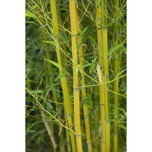 Bambou phyllostachys aureosulcata spectabilis vert pot de 7L 134424
