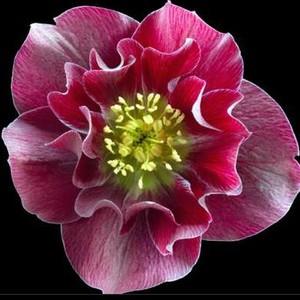 Hellébore (ou Rose de Noël) DOUBLE ROUGE - Le pot de 1 litre