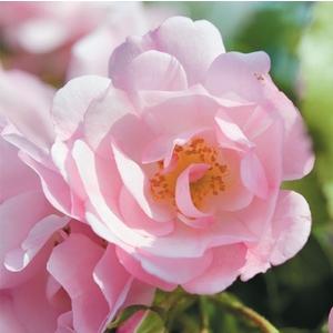 Rosier mareva rose avec pot bleu de 5 L 139323