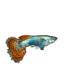 Guppy mâle red dragon de 3,5 à 4,5 cm 139683