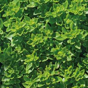 Basilic Fin Vert bio. Le pot de 1 litre recyclé