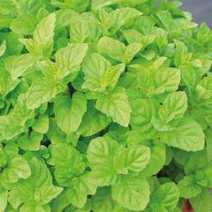 Menthe Verte. Le pot de 1 litre recyclé