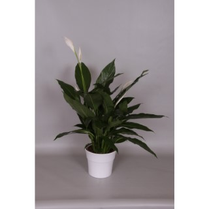 Spathiphyllum Cupido + cache-pot