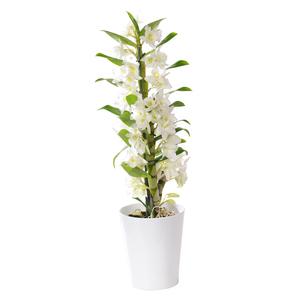 Orchidée Dendrobium nobile + cache-pot. Pot 12 cm
