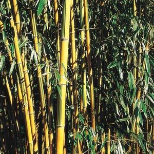 Bambou moyen 3L
