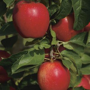 Pommier Delbard Divine® botanic®