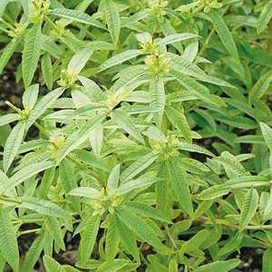 verveine citronnelle le pot de 1 litre plantes aromatiques selection botanic potager botanic. Black Bedroom Furniture Sets. Home Design Ideas