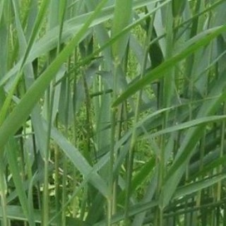 Plantes macrophytes maximottes