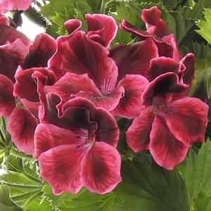 Géranium pensée à grandes fleurs.Le pot de 2,5 litres