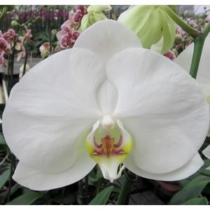 Orchidée Phalaenopsis blanc 2 branches. Pot 12 cm
