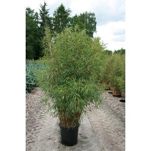 Bambou Fargesia vert 150/175 cm Extra en pot de 5 L 166656