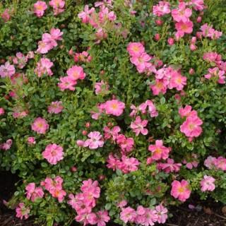 rosier eglantia intropi botanic